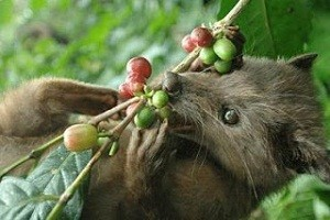 coffe-luwak-plantation-bali-golden-tour-1