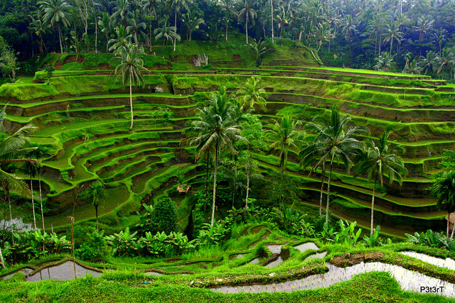 tegalalang-rice-terrace