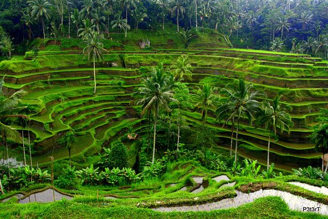 Hasil gambar untuk tegallalang rice terraces ubud